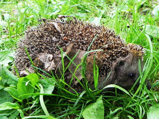 Hedgehog.  The hedgehog curled up and shows his needles.