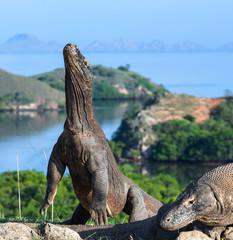The Komodo dragon  stands on its hind legs. Scientific name: Varanus komodoensis. Biggest living lizard in the world. Rinca island. Indonesia.