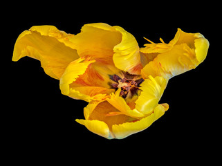 Still life fine art bright colorful macro of a single isolated wide open parrot tulip blossom in surrealistic/fantastic realism style with pop-art colors on black background