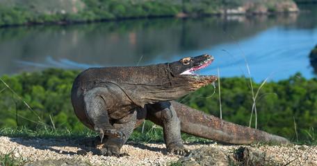 The Komodo dragon raised the head with open mouth. Scientific name: Varanus komodoensis.  Biggest living lizard in the world. Rinca Island. Indonesia.