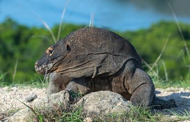 Komodo dragon.  Scientific name: Varanus Komodoensis. Indonesia. Rinca Island.