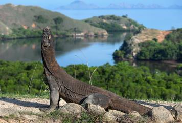Komodo dragon.  The dragon raised his head. Scientific name: Varanus Komodoensis. Indonesia. Rinca Island.