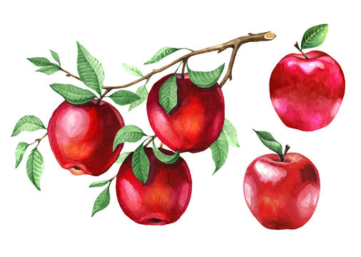 Watercolor red apples on a tree branch