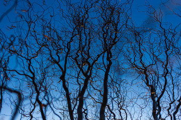Black fantasy wavy creepy bare branches of old huge tree isolated on blue sunset sky background. Horizontal color photography.