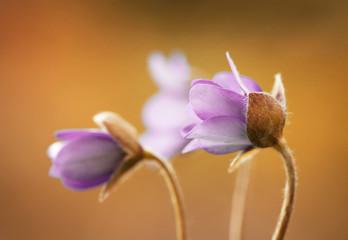 Leinwandbilder - Przylaszczki - Hepatica nobilis