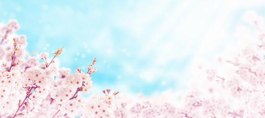Sakura cherry tree pink spring flowers horizontal background Wall mural