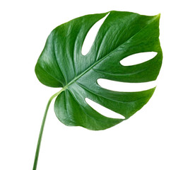 Monstera leaf on stem on a whute background