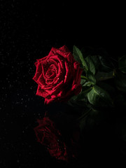 Red rose on black background.