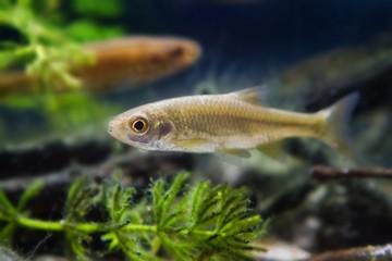 Leucaspius delineatus ornamental freshwater fish in biotope aquarium, nature shallow depth of field photo