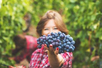 Fototapeta Junge Frau bei der weintrauben ernte in weinbergen obraz