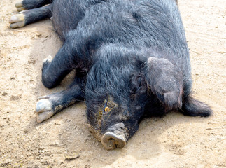 stocky black Guinea hog lying asleep in the dirt