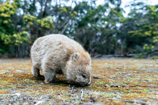 Australia, Tasmania, Maria Island, foraging wombat