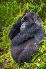 Rwanda, Virunga National Park, mountain gorilla