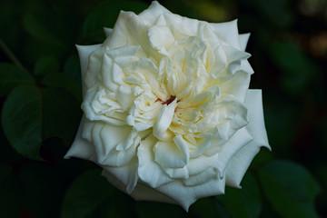 Single White Rose Isolated on Dark Background