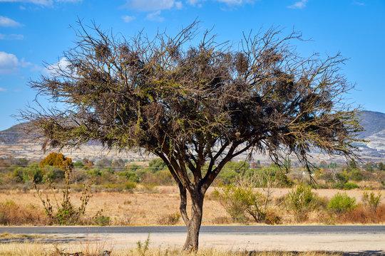 acacia farnesiana or huizache next to the road