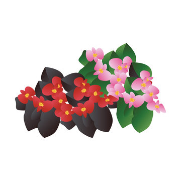 Vector illustration of red and  pink begonia  flowers with black and green leafs on white background.