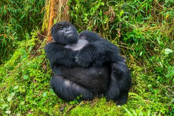 Rwanda, Virunga National Park, portrait of relaxing mountain gorilla