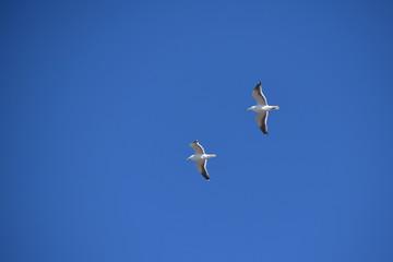青空を飛ぶ二羽のカモメ