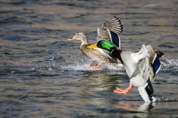 Fototapete - Pair of Mallard Ducks Landing on the Blue Water
