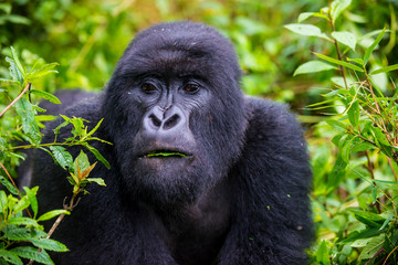 Rwanda, Virunga National Park, portrait of mountain gorilla eating leaves