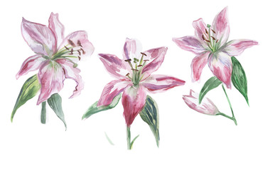 Set of pink and white watercolor lilies on a white background