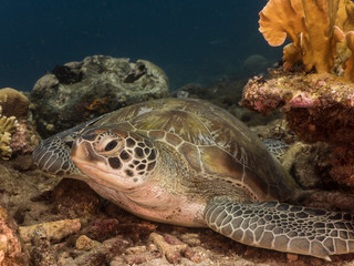 Green Sea Turtle in shallow water of the coral reef in the Caribbean Sea around Curacao