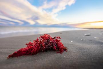 une algue rouge échouée sur la plage