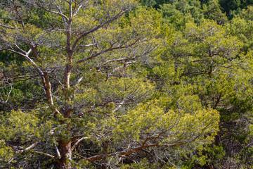 Pinus sylvestris. Bosque de pino silvestre.