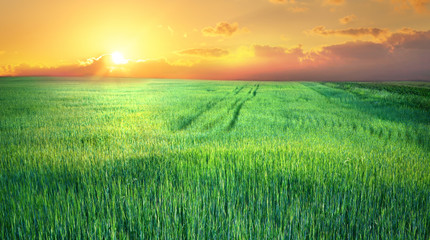 Young green shoots of cereal at sunset. Beautiful spring landscape, agricultural field panoramic view. Cereal sprouts in nature.