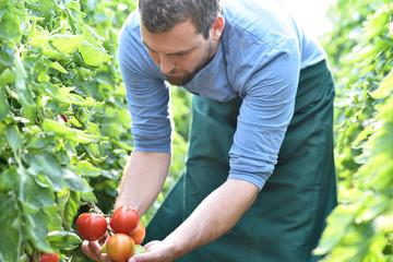 Gärtner prüft Reife von frischen Tomaten im Gewächshaus vor der Ernte // Gardener checks ripeness of fresh tomatoes in greenhouse before harvesting