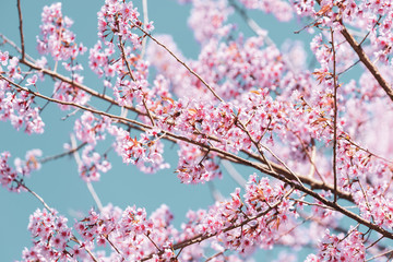 Vintage close up Wild Himalayan Cherry blossoms (Prunus cerasoides) blooming on tree with blue sky