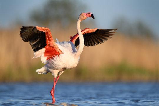 Flamingo waving wings