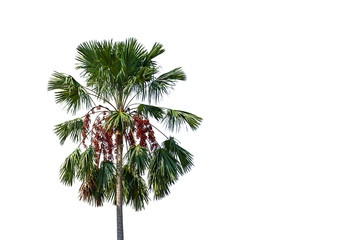 Palm trees on a white background with clipping path.