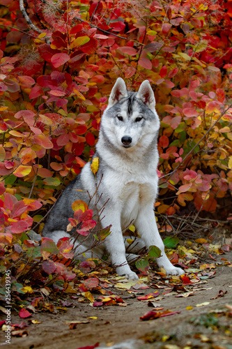 Closeup autumn portrait of Siberian husky puppy  A young