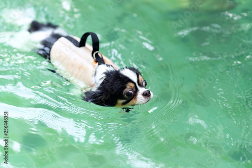 Young chihuahua dog wearing life vest jacket swim in