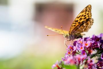 Schmetterling5