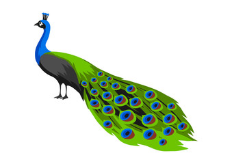 Illustration of peacock. Tropical exotic bird on white background.
