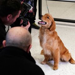 A Golden Retriever poses for photos at the American Kennel Club's Museum of the Dog during an unveiling of the clubs' most popular breeds in New York