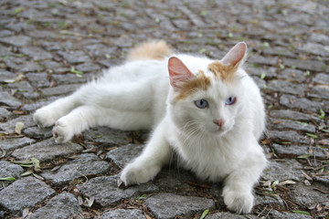 Türkisch Van Katze liegt auf Straßenpflaster