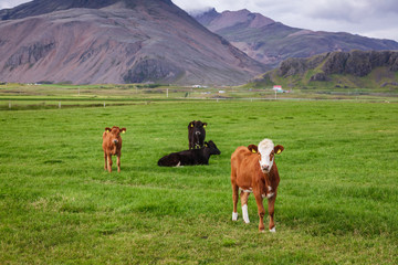Icelandic rural landscape with farm cattle Eastern Iceland Scandinavia