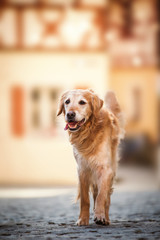 Old golden retriever dog in a old city