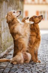 Golden retriever dog sitting on hind legs