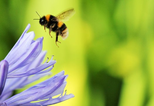Bumble Bee wasp African agapanthus (Agapathus africanus) with bumble bee flying by lilac flower with copy space