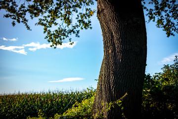Alter Baum am Feldrand