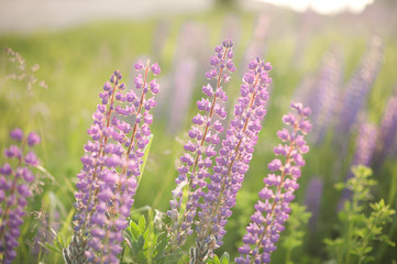 purple lupins in nature