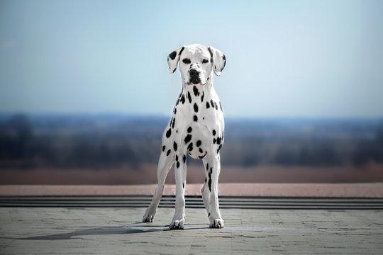dalmatian dog beautiful portrait blue sky