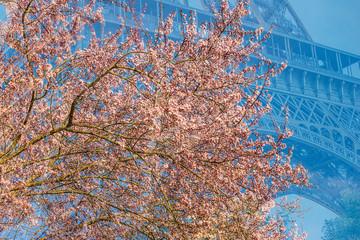 Spring in Paris/ Cherry bloosom in Paris near the Eiffel Tower