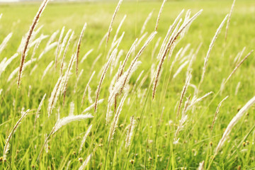 Green grass with white hairs on top With the light of the sun.