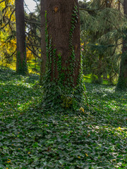 Ivy covered ground creeping up the trees