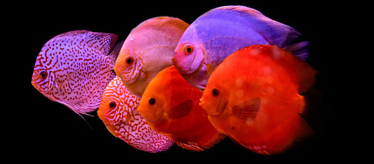 discus fish in aquarium, tropical fish isolated on black. Symphysodon discus from Amazon river. Blue diamond, snakeskin, red turquoise and more
